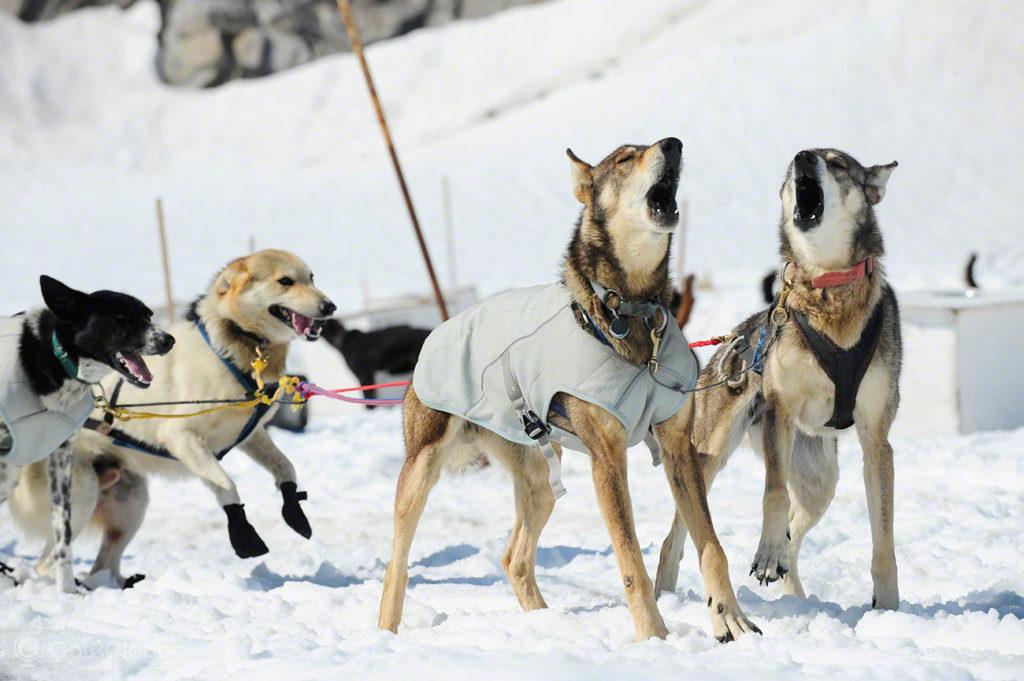Cães de dog mushing-acampamento dog mushing, Godwin, Seward, Alasca
