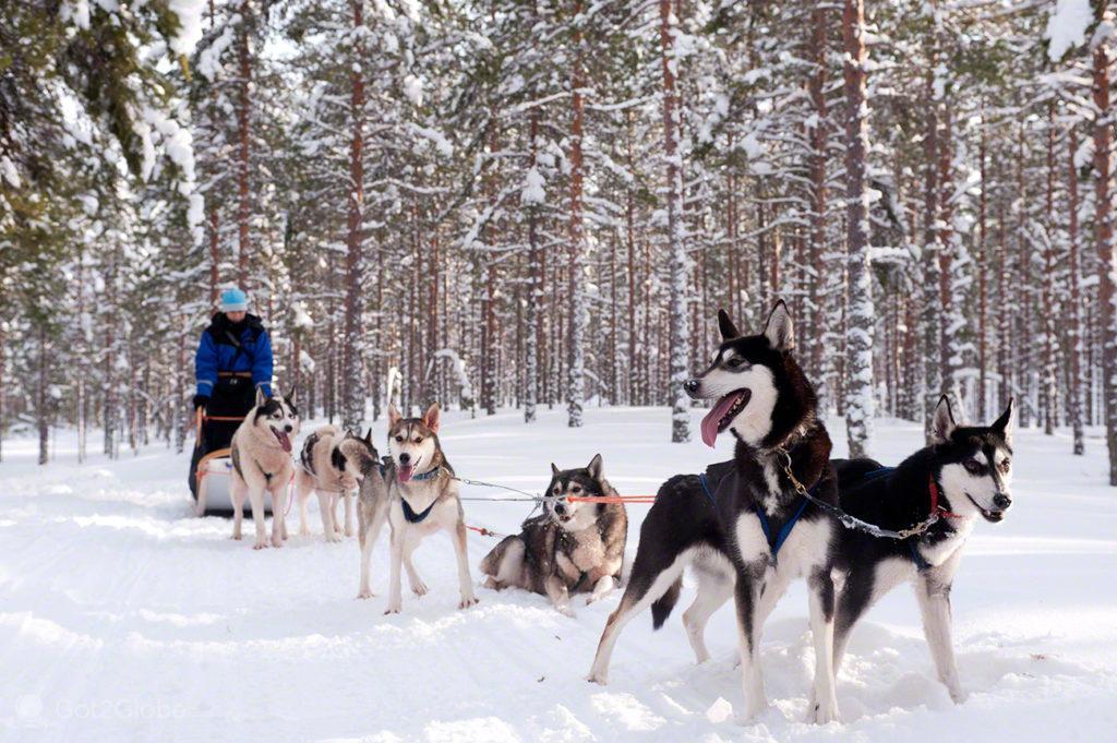 Matilha de cães de trenó, Oulanka, Finlandia
