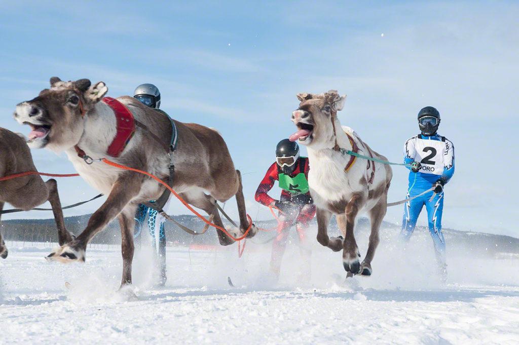 Renas puxam jóqueis, Corrida de Renas Porokuninkuusajot, Kings Cup, Inari, Finlândia