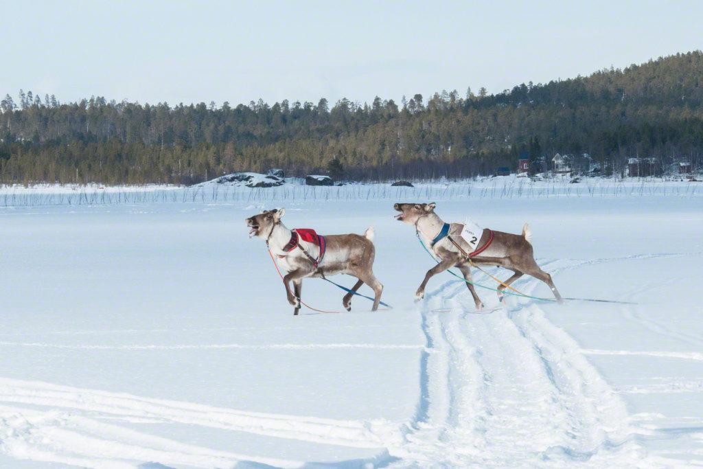 Renas tresmalhadas, corrida de Renas Em curva-Corrida de Renas-Kings Cup-Inari-Finlândia, Kings Cup, Inari, Finlândia