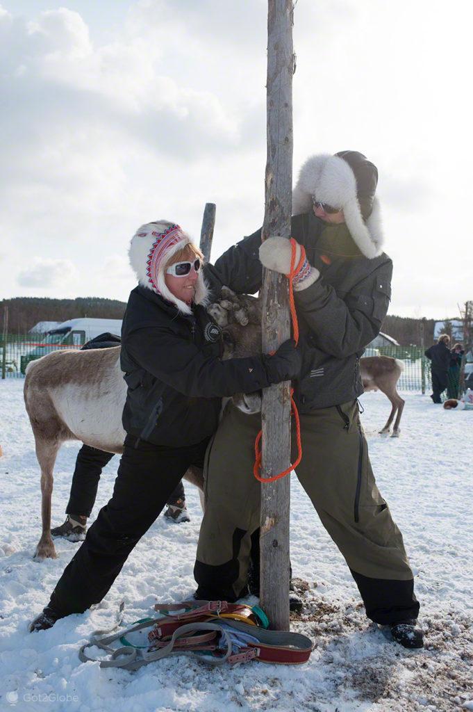 Tratadores e rena, Corrida de Renas Porokuninkuusajot, Kings Cup, Inari, Finlândia