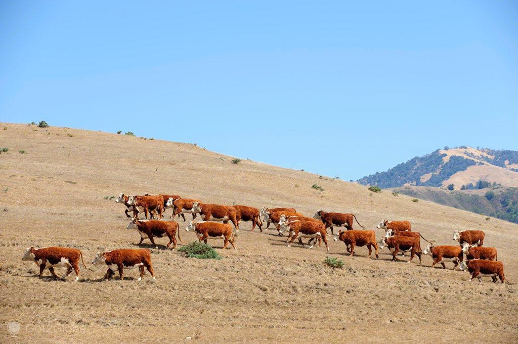 Vacas, Big Sur, Califórnia, Estados Unidos