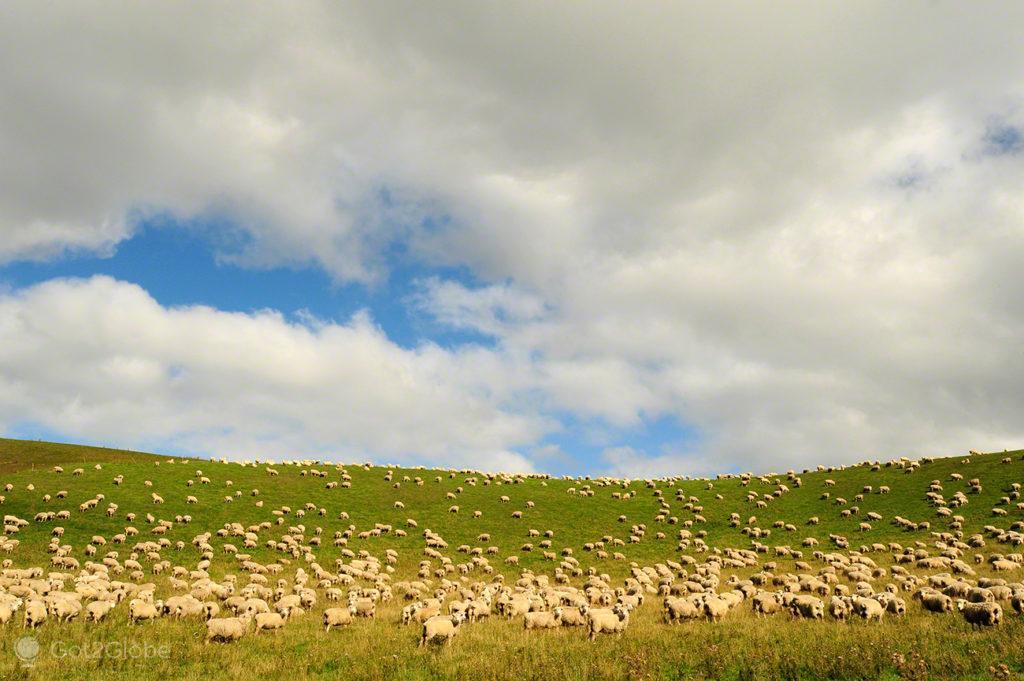 Rebanho de ovelhas, Nova Zelandia