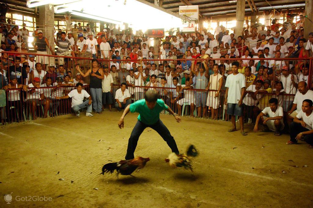 arbitro de combate, luta de galos, filipinas