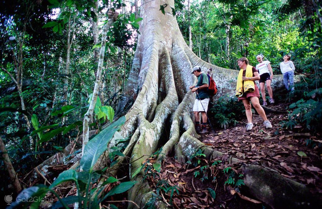 Arvore gigante, PN Henri Pittier, Venezuela