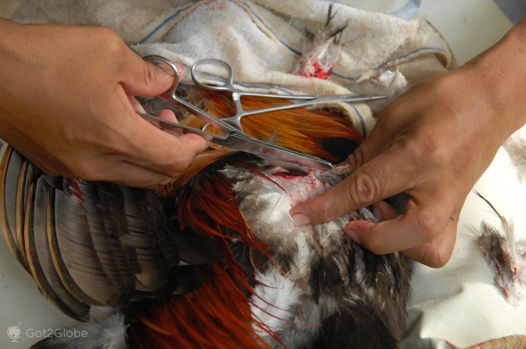 cirurgia a galo, luta de galos, filipinas