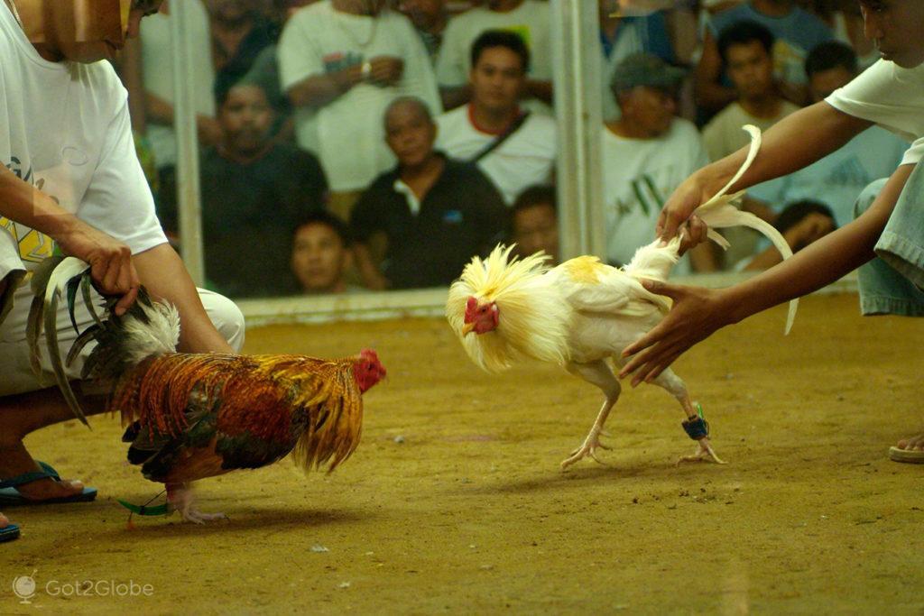 confronto de galos, luta de galos, filipinas