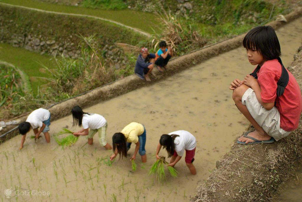 criancas, plantam arroz, socalcos arroz, batad, filipinas