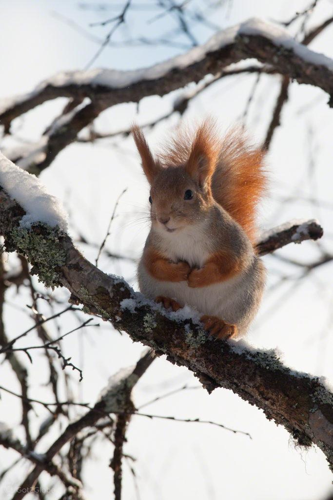 esquilo vermelho-inari-Finlandia, Inari, Finlandia