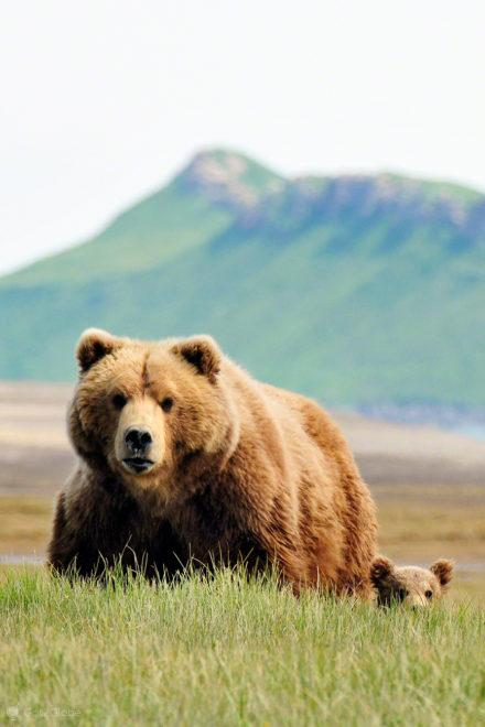 femea e cria, passos grizzly, parque nacional katmai, alasca