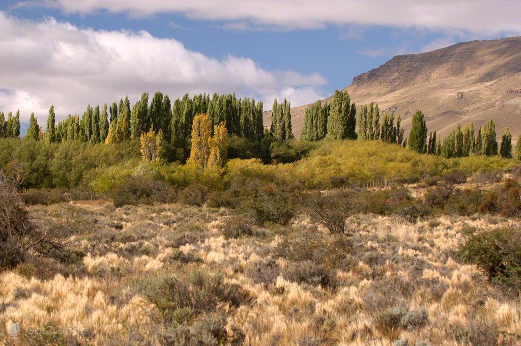 floresta coniferas, monte fitz roy, argentina