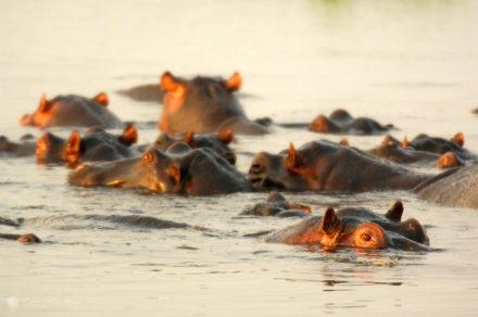hipopotamos, parque nacional chobe, botswana