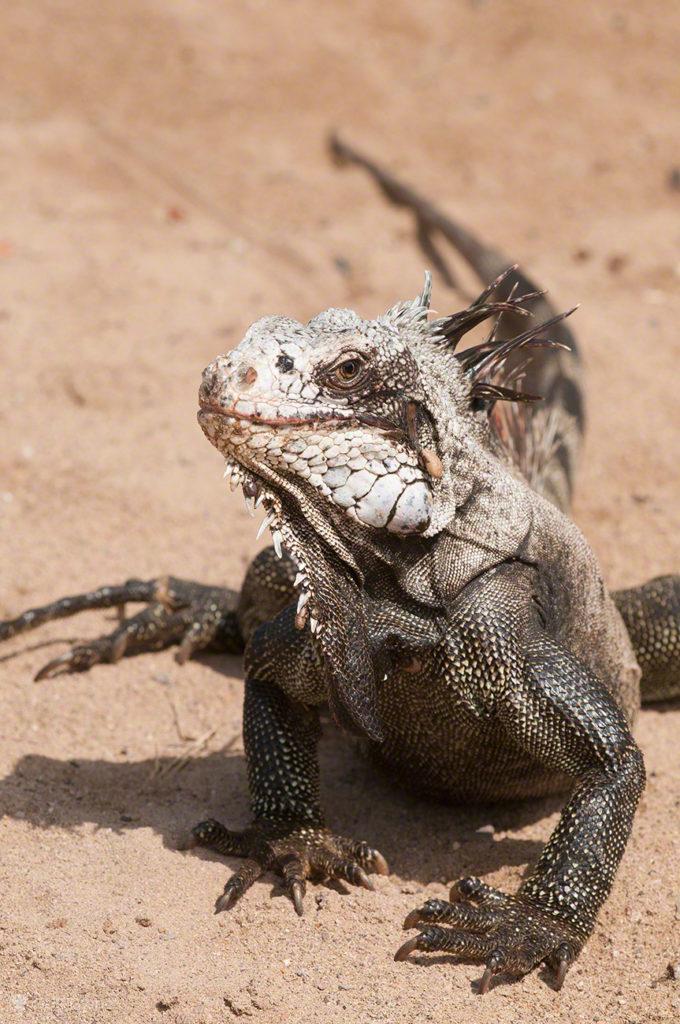 iguana, ilha margarita, PN mochima, venezuela
