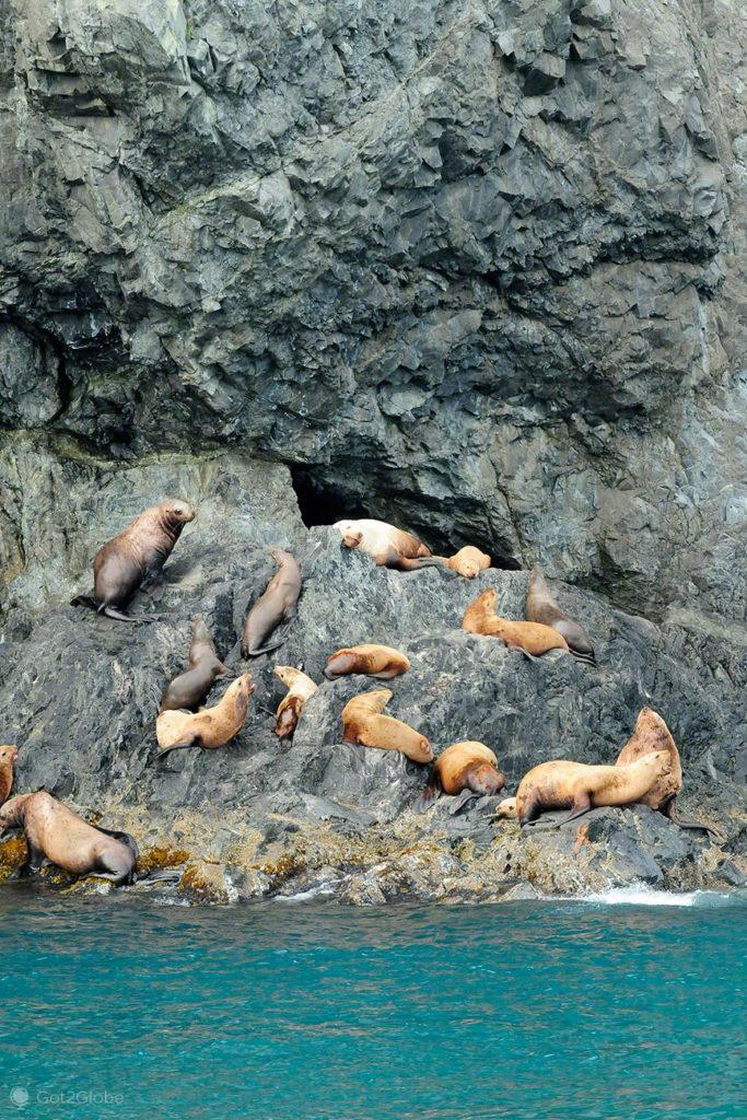 leoes marinhos, rota ouro negro, Valdez, Alasca, EUA