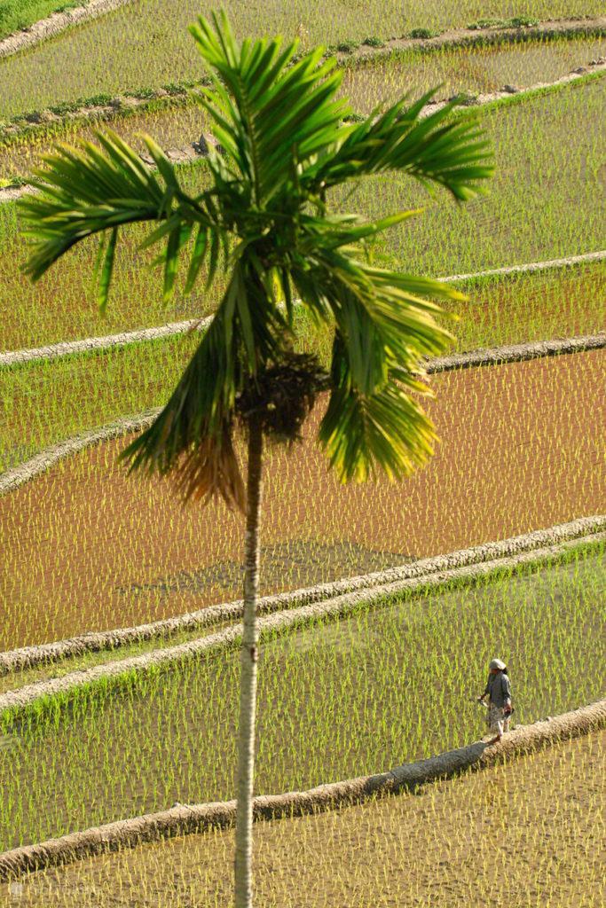 nativo, palmeira, caminhar, socalcos arroz, batad, filipinas