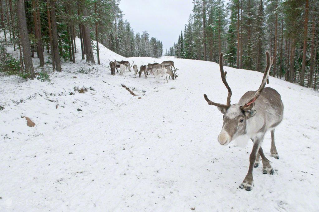 rena, pastar, gelo, parque nacional oulanka, finlandia