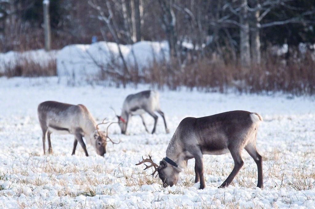 renas, pastar, gelo, parque nacional oulanka, finlandia
