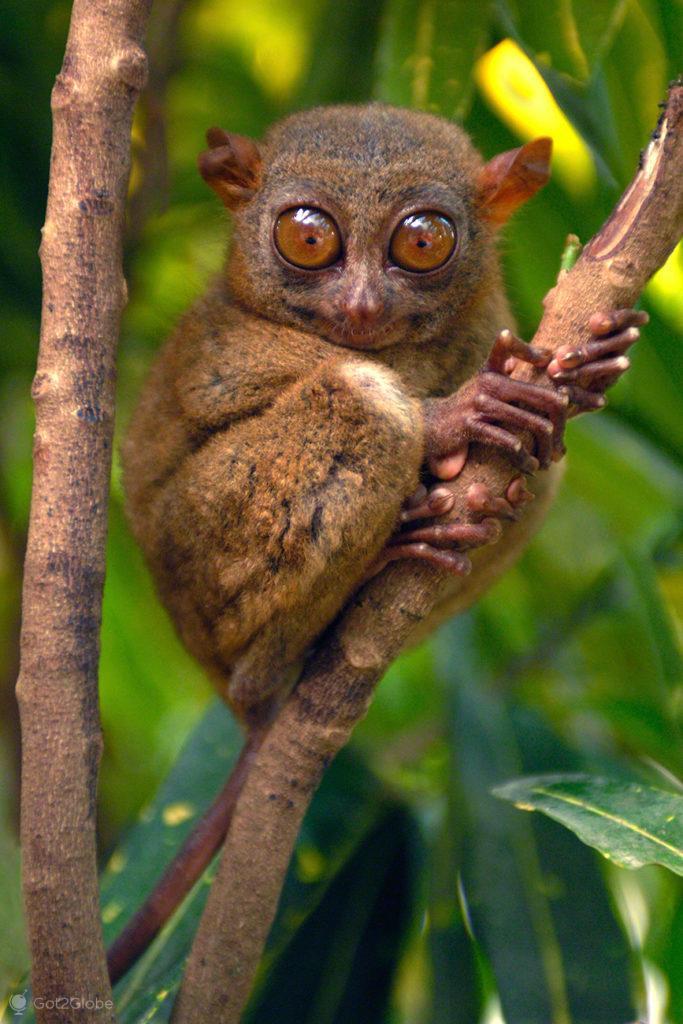 tarsio, primata, bohol, filipinas, do outro mundo