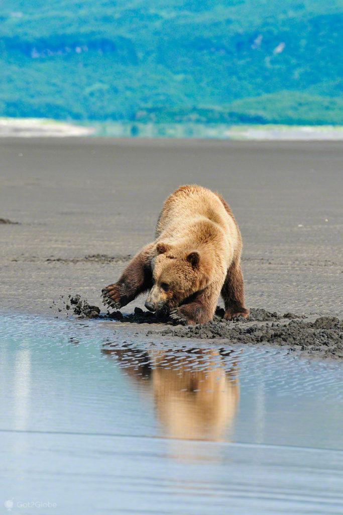 urso, bivalves, petisco, passos grizzly, parque nacional katmai, alasca