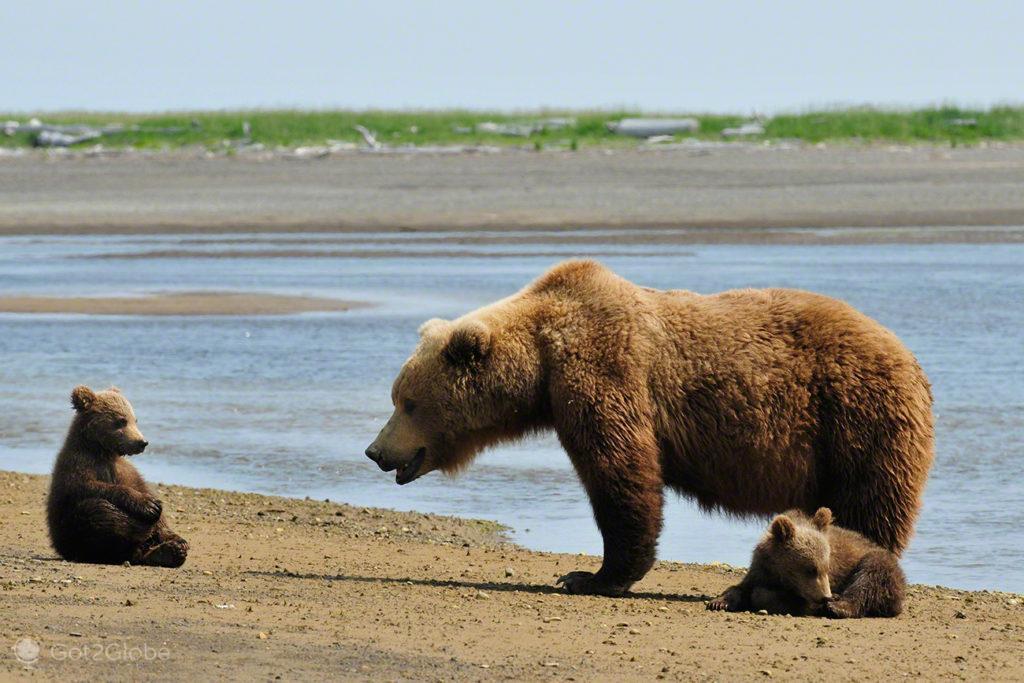 ursos, familia, crias, passos grizzly, parque nacional katmai, alasca