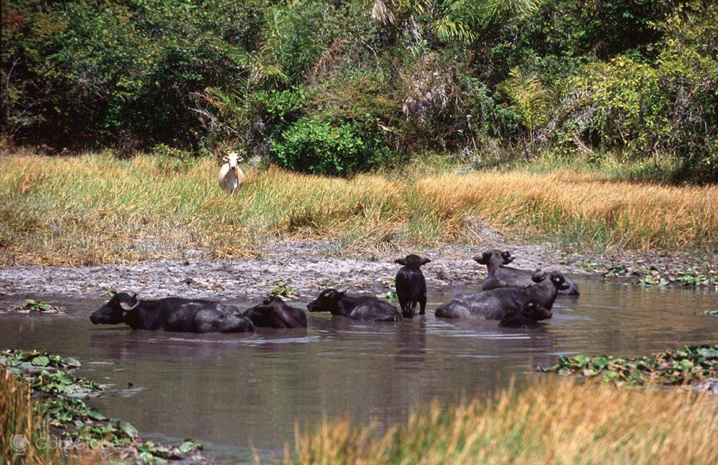 Bufalos, ilha do Marajo, Brasil, búfalos selvagem e vaca