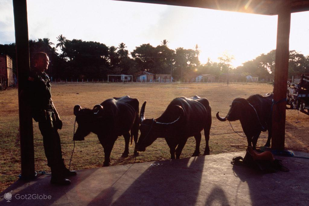 Bufalos, ilha do Marajo, Brasil, búfalos da polícia de Soure