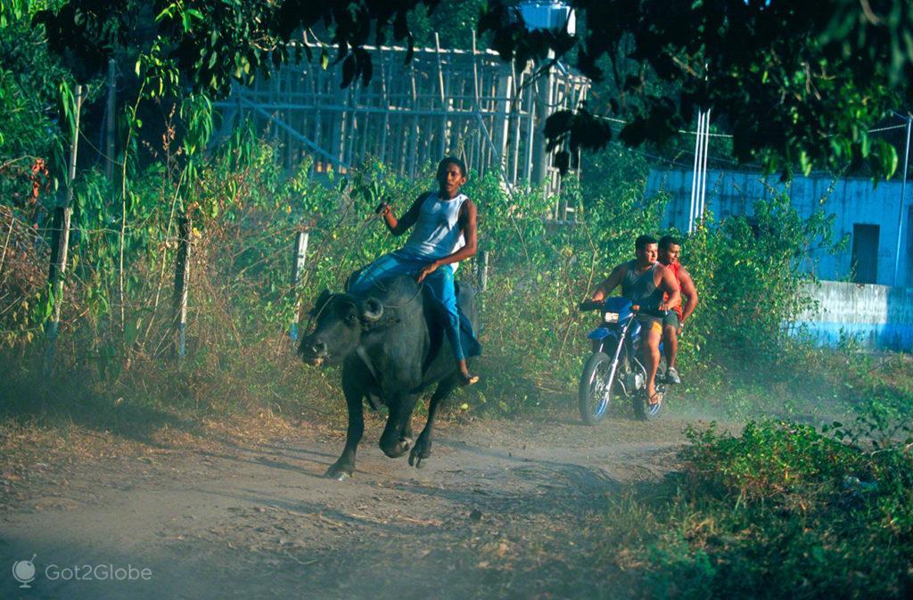 Bufalos, ilha do Marajo, Brasil, corrida de búfalo