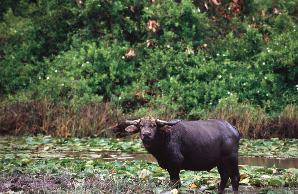 Bufalos, ilha do Marajo, Brasil, búfalo selvagem