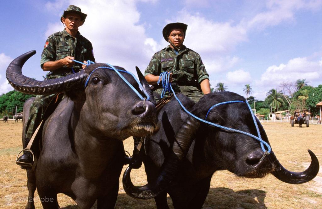 Bufalos, ilha do Marajo, Brasil, Policia de Soure