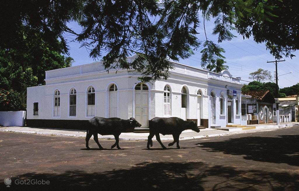 Bufalos, ilha do Marajo, Brasil, búfalos em Soure