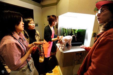 Gatis de Tóquio, Japão, clientes e gato sphynx