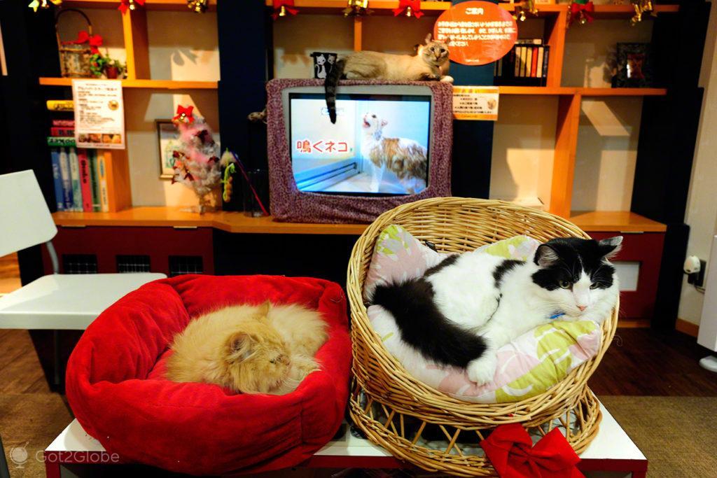 Gatis de Tóquio, Japão, TV para Gatos