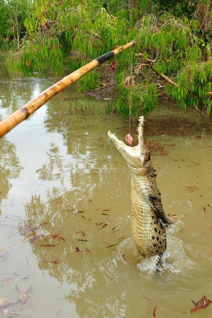 Croc, Queensland Tropical Australia Selvagem