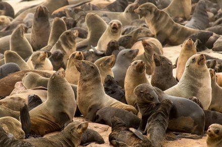 Cabo da Cruz, colónia focas, cape cross focas, Namíbia