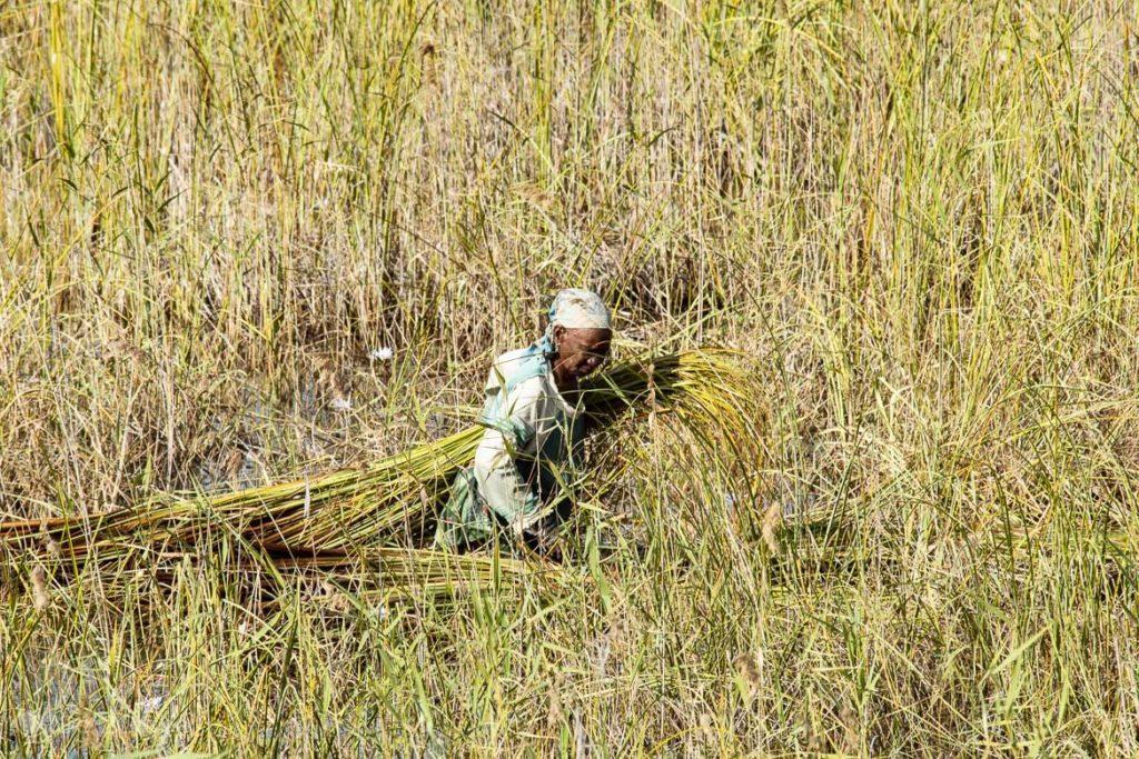 Nativa colhe capim em Bazaruto, Moçambique