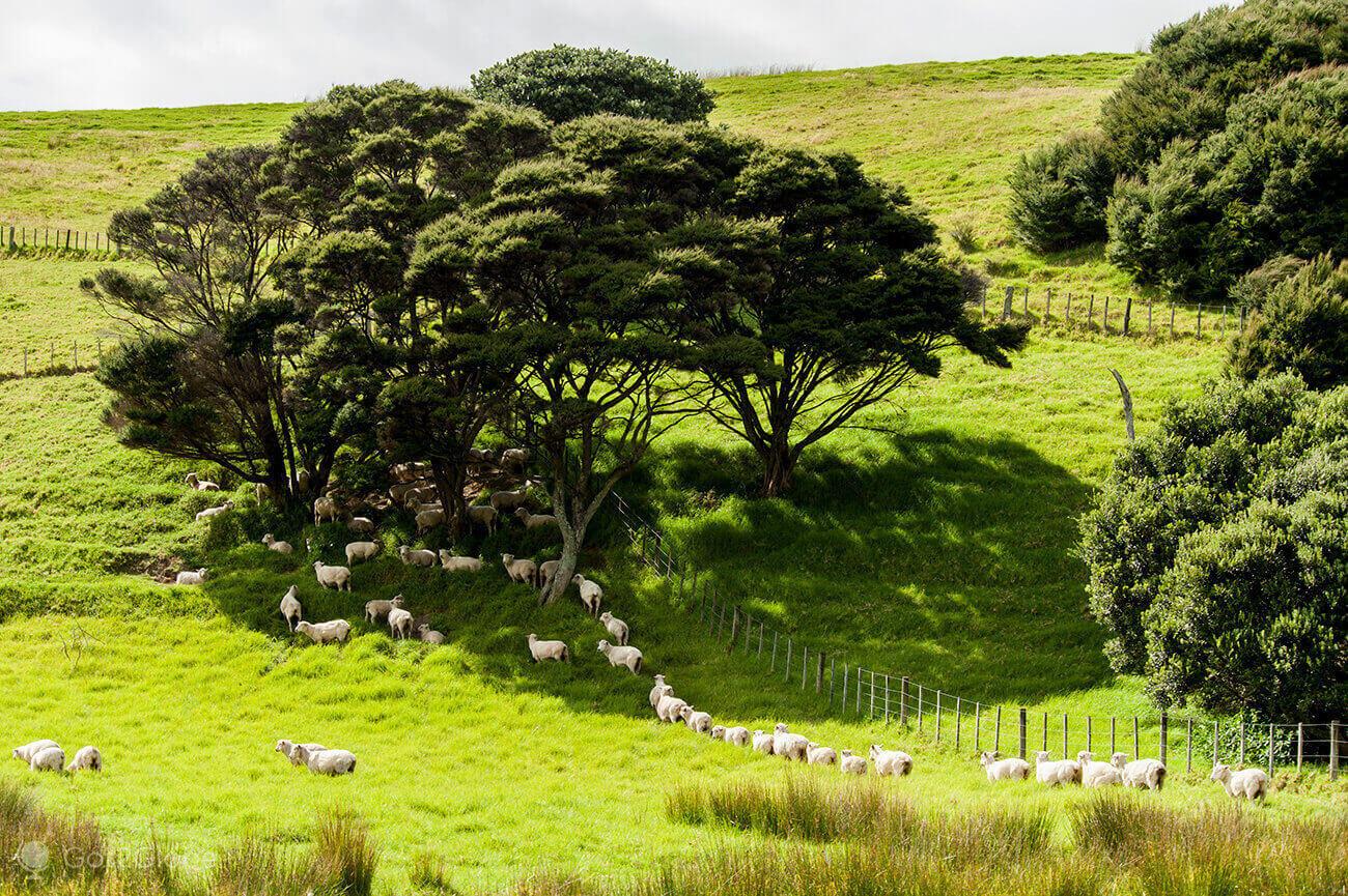 rebanho, Bay of Islands, Nova Zelândia