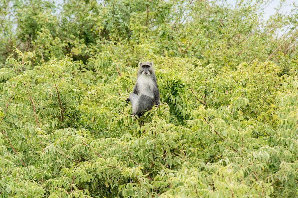 Macaco-azul em Bazaruto, Moçambique