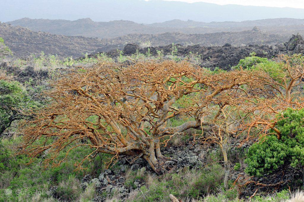 Árvores wiliwili, Maui, Havai