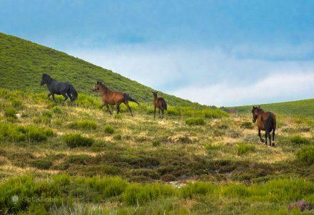 Cavalos garranos galopam pelo planalto acima de Castro Laboreiro, na iminência da Galiza