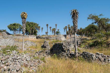 Aloés excelsa junto ao muro do Grande Cercado, Great Zimbabwe