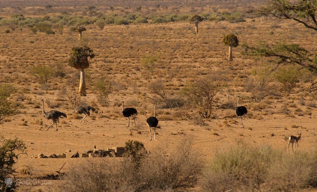 Avestruzes no deserto Nama Karoo, Namíbia