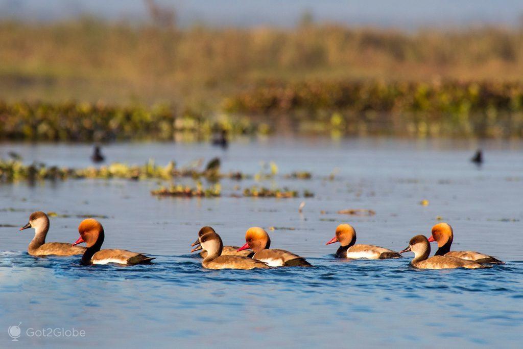 Patos no rio Teesta, em Gajoldoba, Bengala Ocidental, Índia