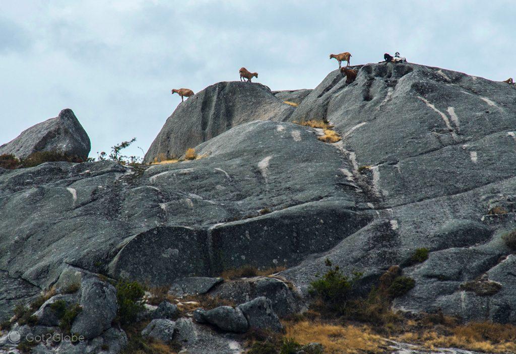 Cabras sobre uma fraga acima de Castro Laboreiro, PN Peneda-Gerês, Portugal