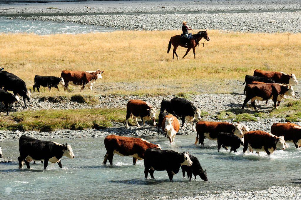 Vacas no rio Matukituki, Nova Zelândia