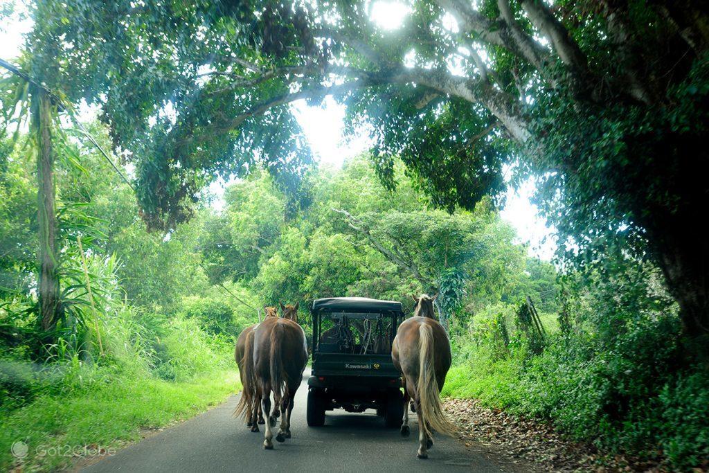 Cavalos a reboque na Hana Highway, Maui, Havai
