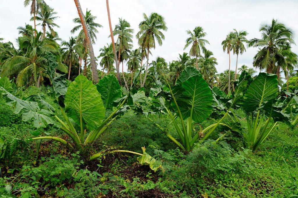 Taros, Tongatapu, Tonga