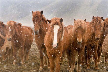 Cavalos sob nevão, Islândia Neve Sem Fim Ilha Fogo