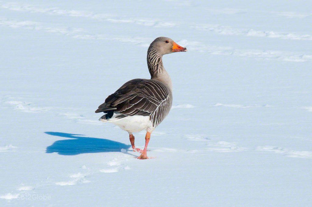 Ganso, Islândia Neve Sem Fim Ilha Fogo