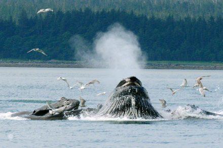 Baleias caçada com Bolhas, Juneau a Pequena Capital do Grande alasca