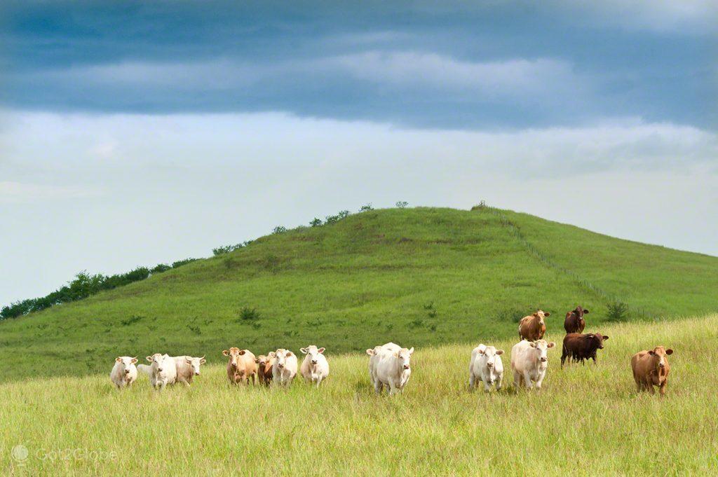 Vacas, Nova Caledonia, Grande Calhau, Pacifico do Sul